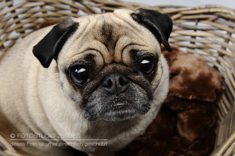 Hunde-Fotoshooting-Studiofotografie-Tierfotograf-Koeln