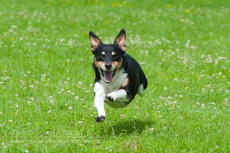 Hunde-Fotoshooting-Bewegungsaufnahmen-Tierfotograf-Koeln